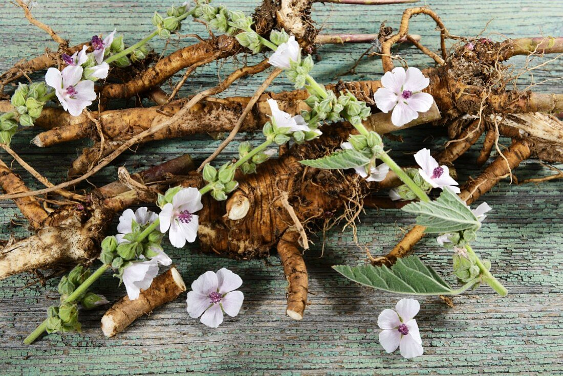 Marsh mallow roots and flowers