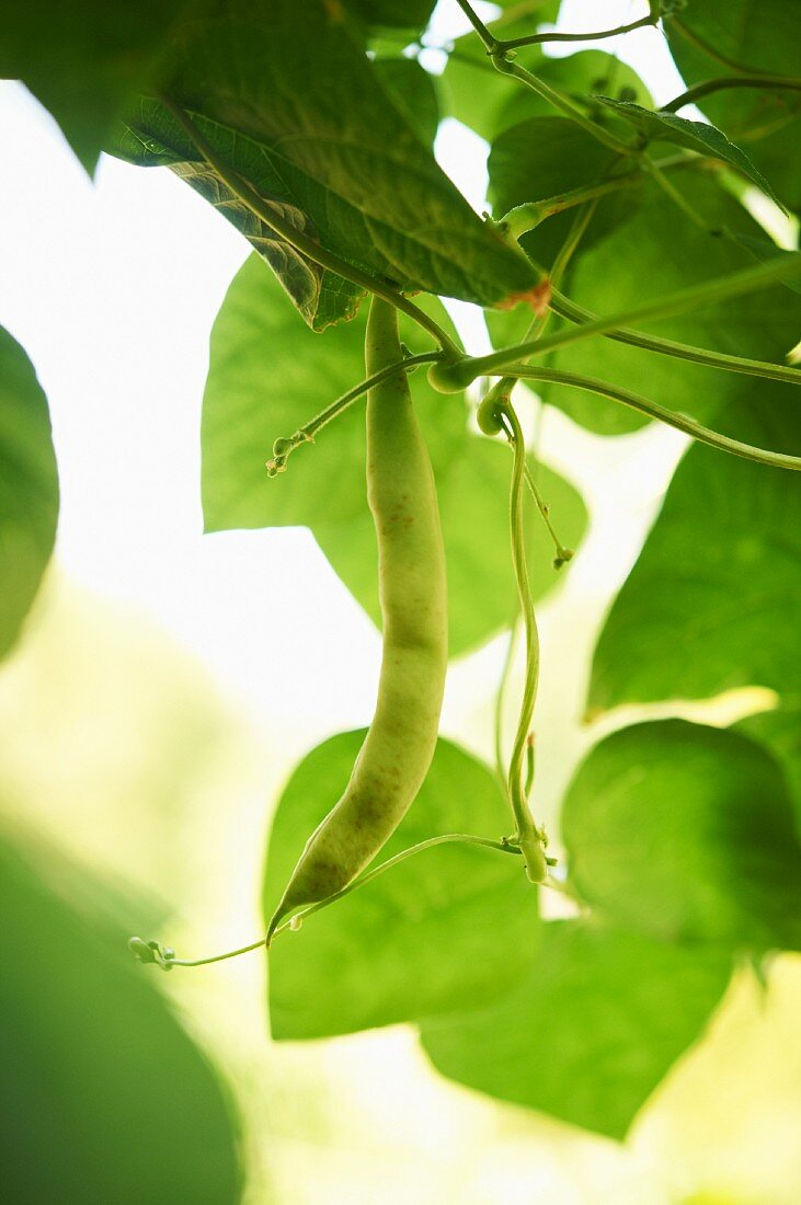 Green Bean Growing on the Vine