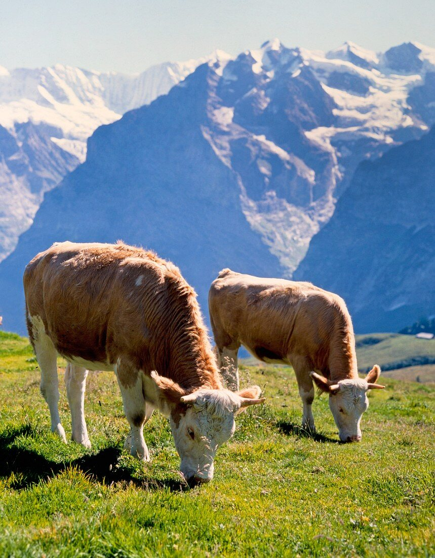 Dairy cows in the Swiss mountains