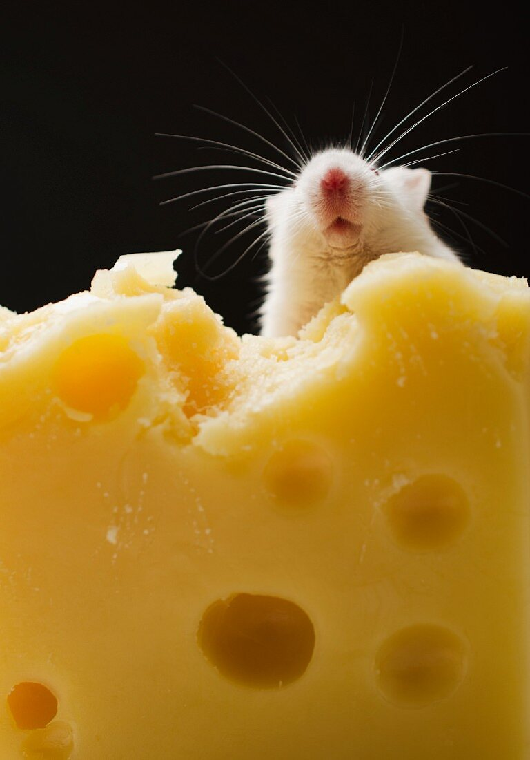 White mouse eating cheese, studio shot