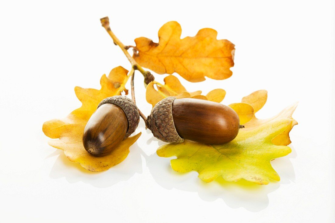 Acorn with oak leaf on white background