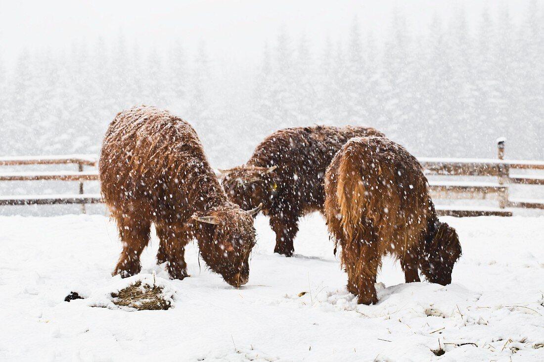 Three Scottish Highland cows in a blizzard