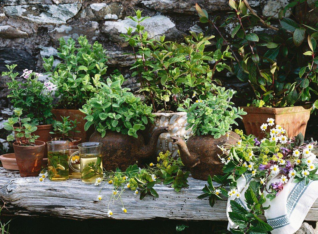 Assorted herbs for tea: scented pelargonium, mint, khat (Catha edulis, Arabian tea), lady's mantle, sage, camomile