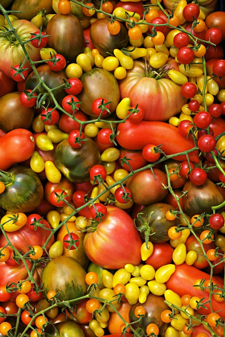 Lots of organic tomatoes (rare varieties), filling the image