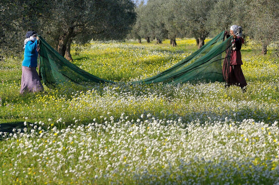 The olive harvest in Tunisia