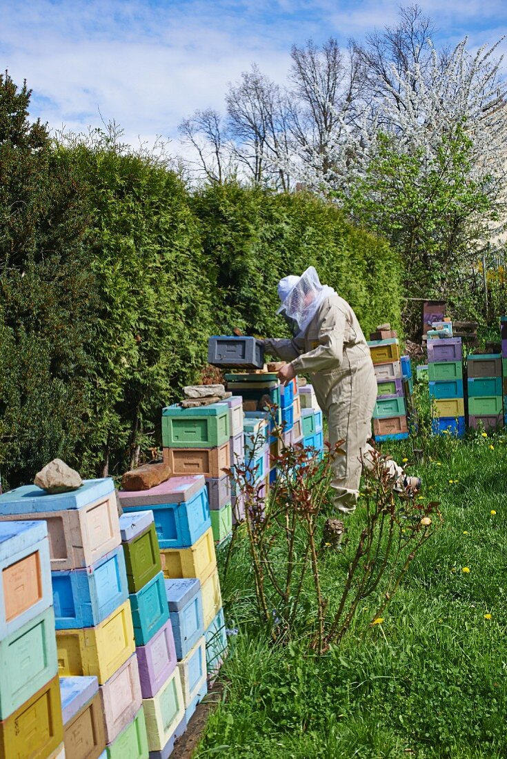 A bee-keeper tending the beehives