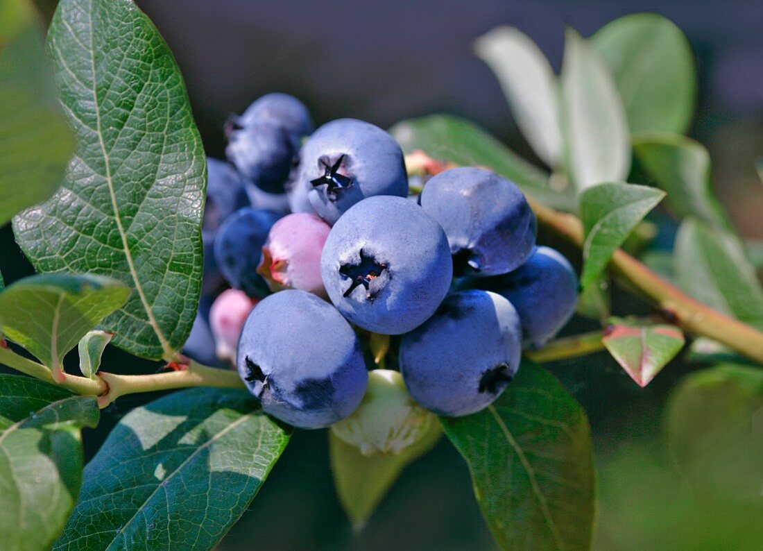 Blueberries on a bush
