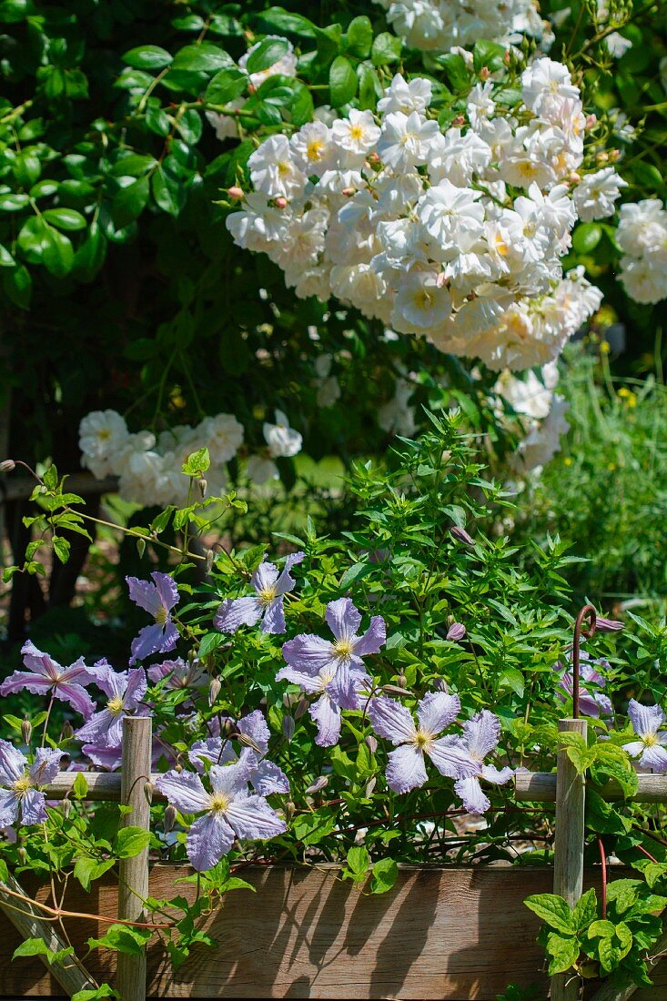 A flowering bush, flowering herbs and climbers in the garden