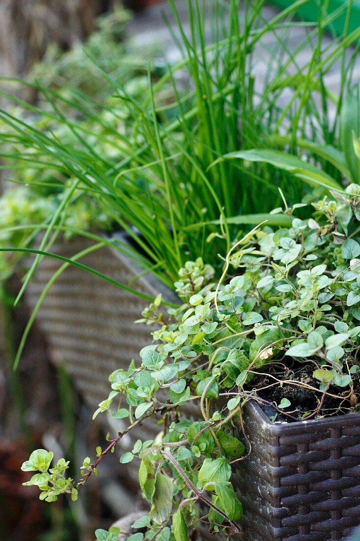 Fresh herbs in a window box