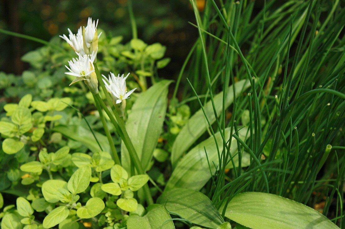 Flowering wild garlic in a herb bed