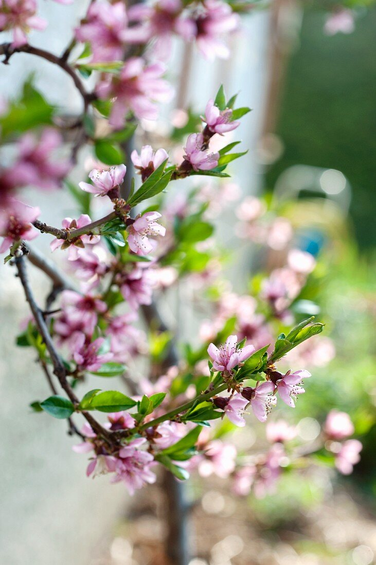 Peach twigs in bloom
