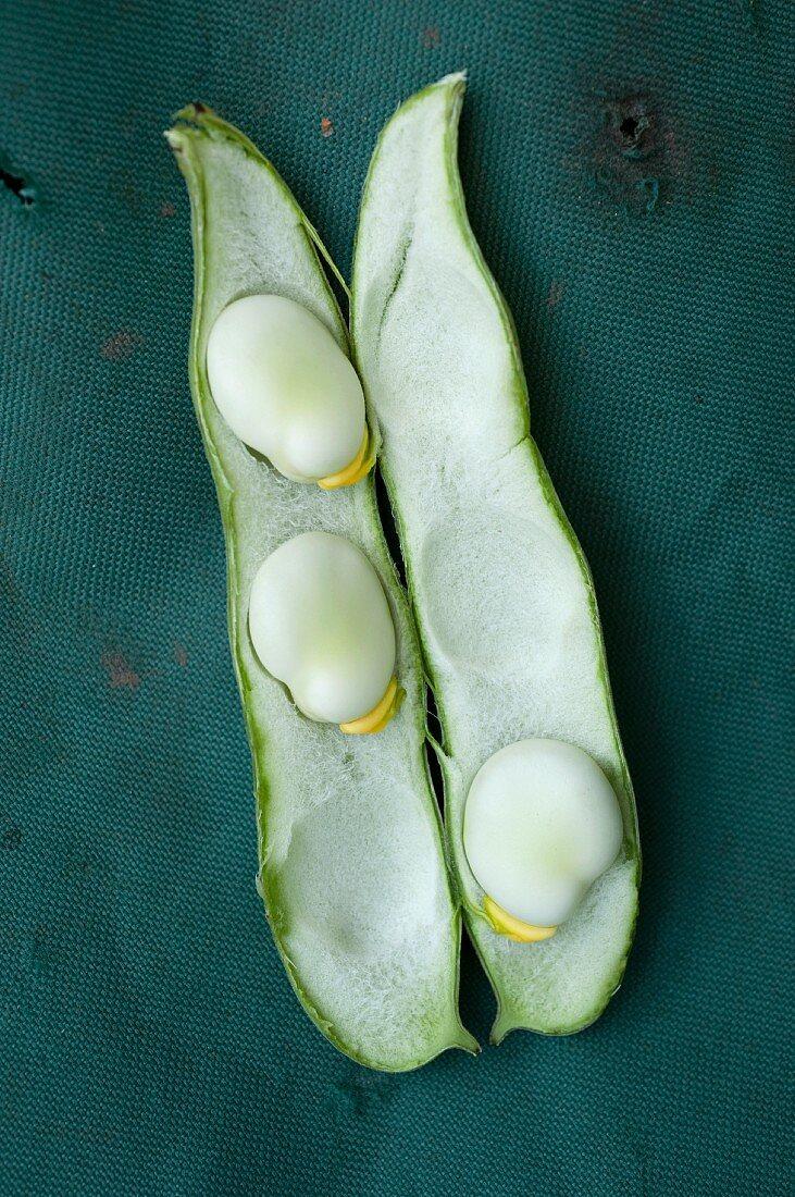An open broad bean pod