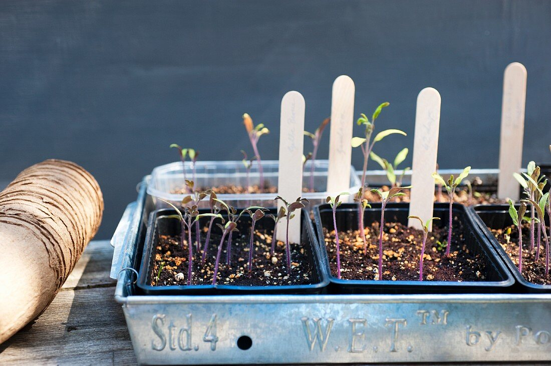 Tomato plants being grown