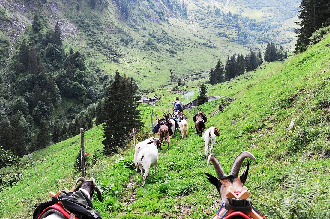 High on the Alps with pack goats in the canton of Glarus