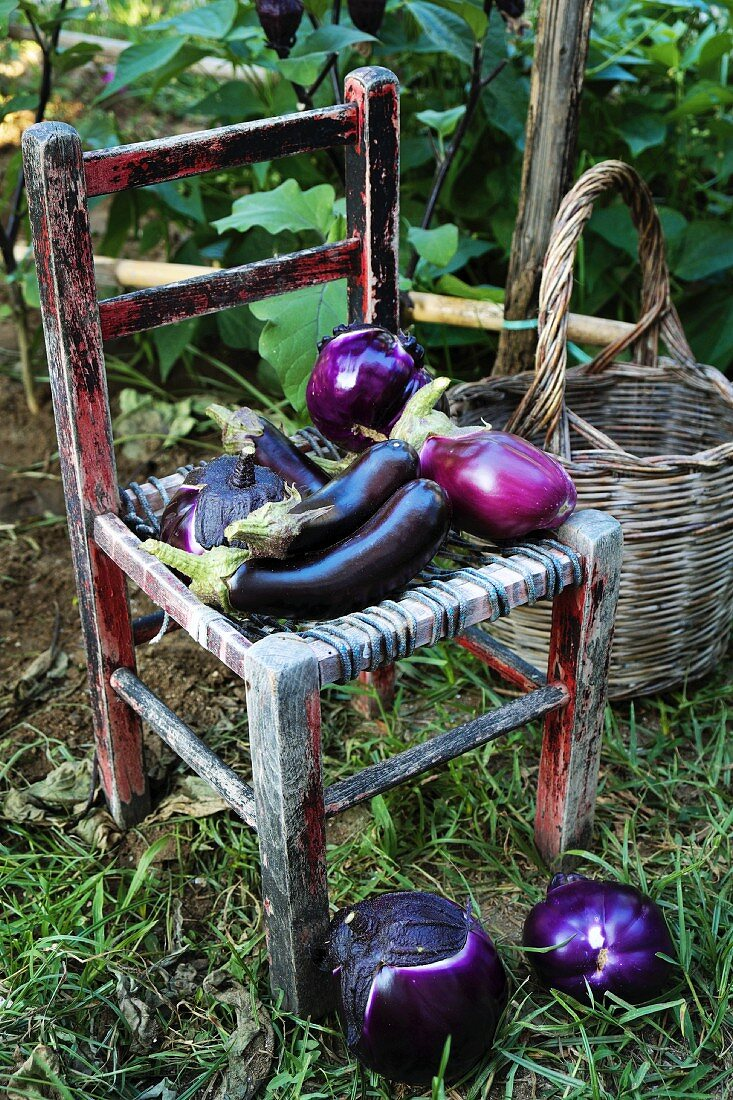 Freshly harvested aubergines on a rustic wooden chair in the garden