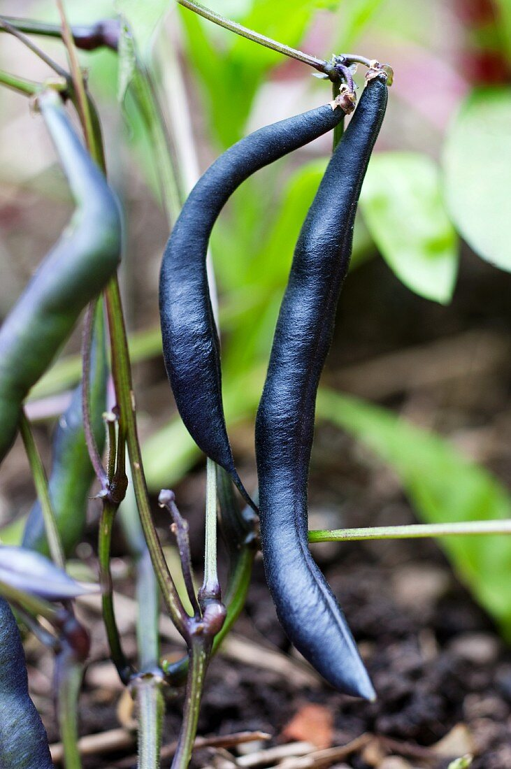 Violet beans on the plant in the garden