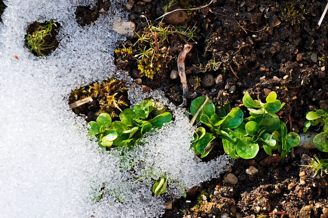 Lamb's lettuce in a garden bed with snow