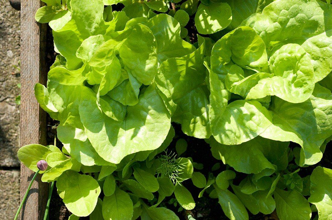 Butterhead lettuce plants in a raised bed