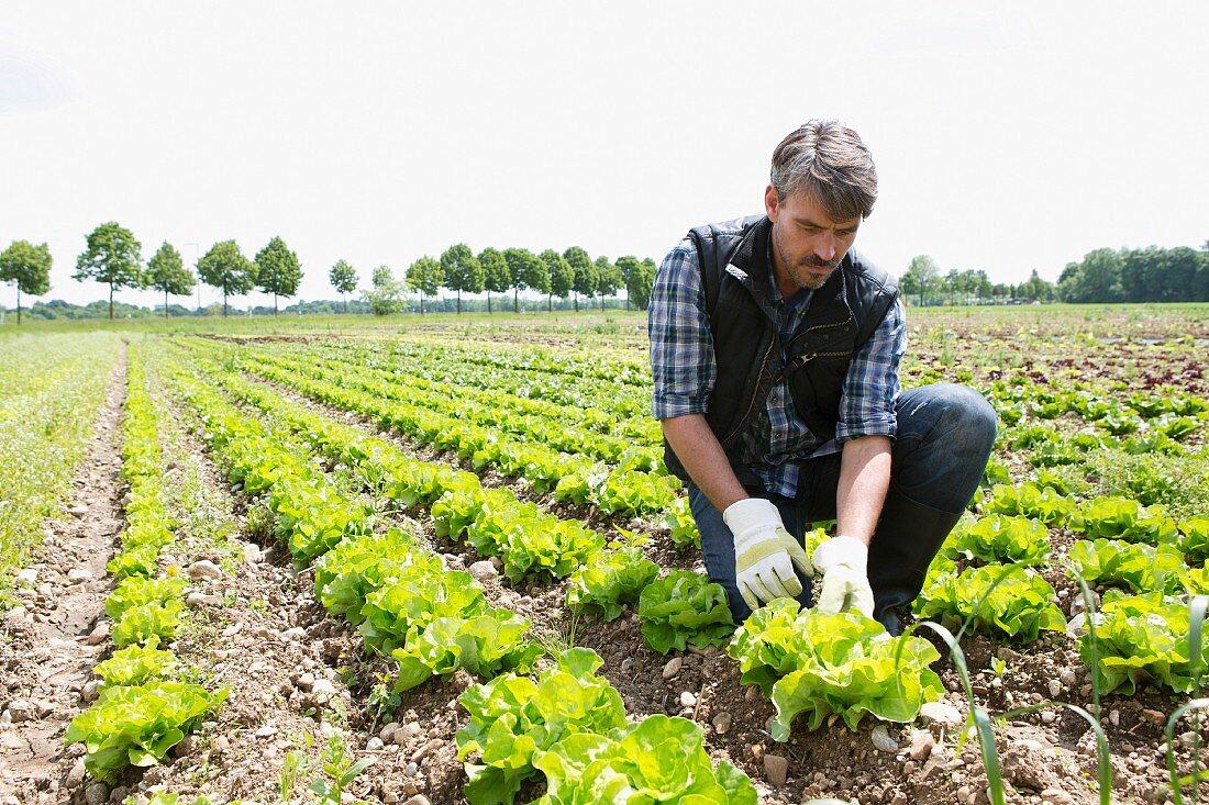 An organic farmer harvesting lettuce in the field
