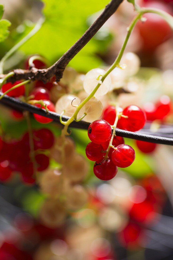 Redcurrants and white currants (close-up)