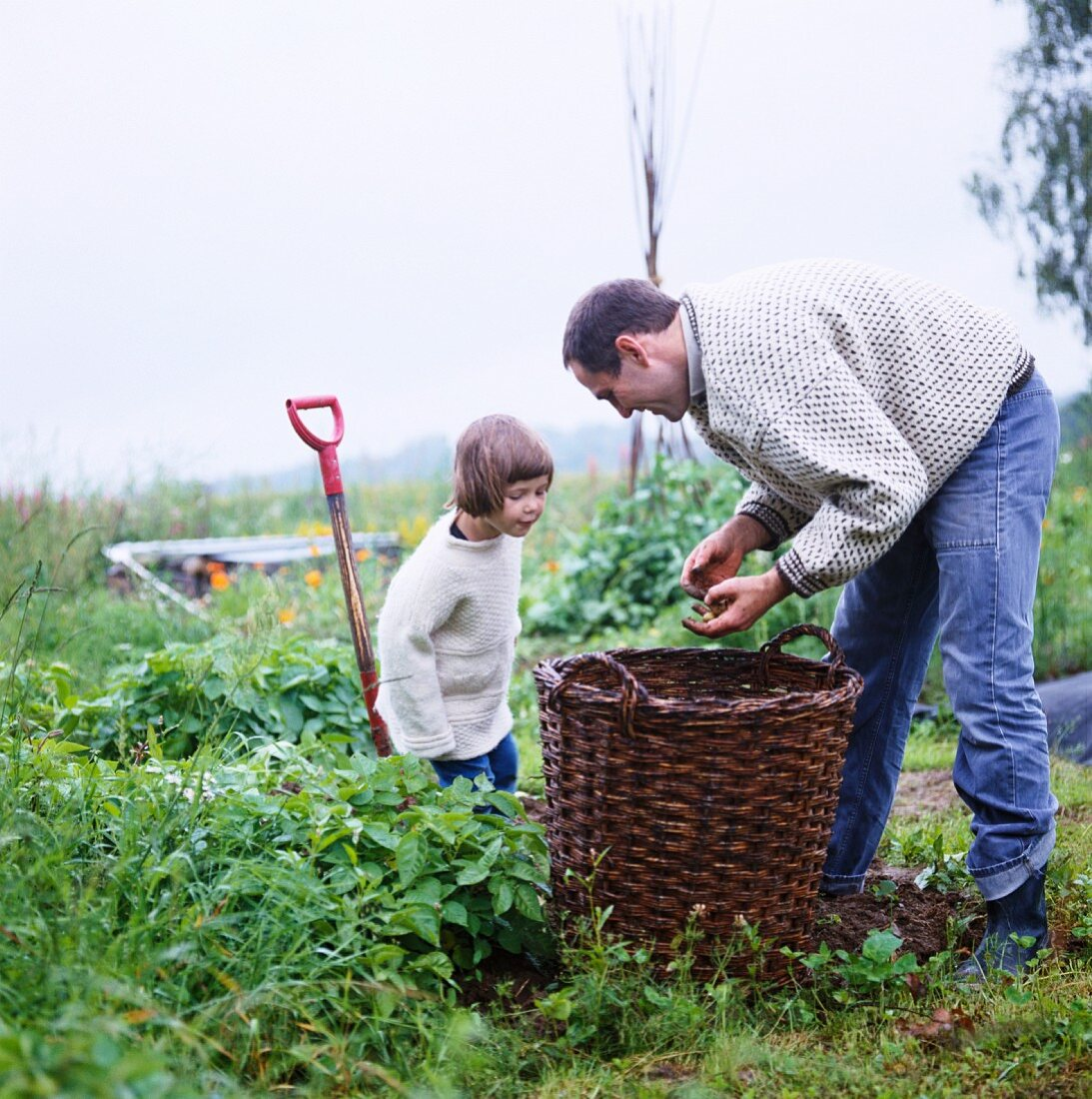 Father and daughter harvesting potatoes in garden