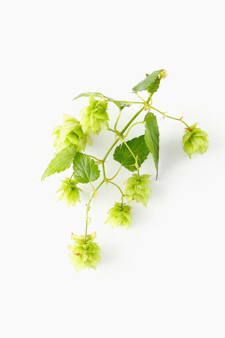 A fresh hops twig