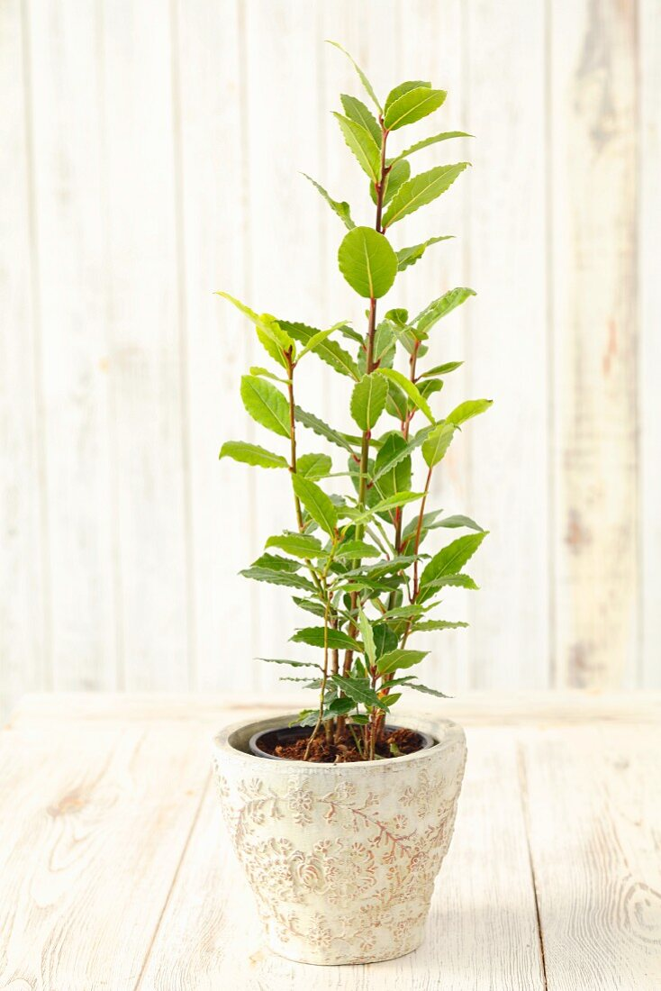 A small bay tree in a pot