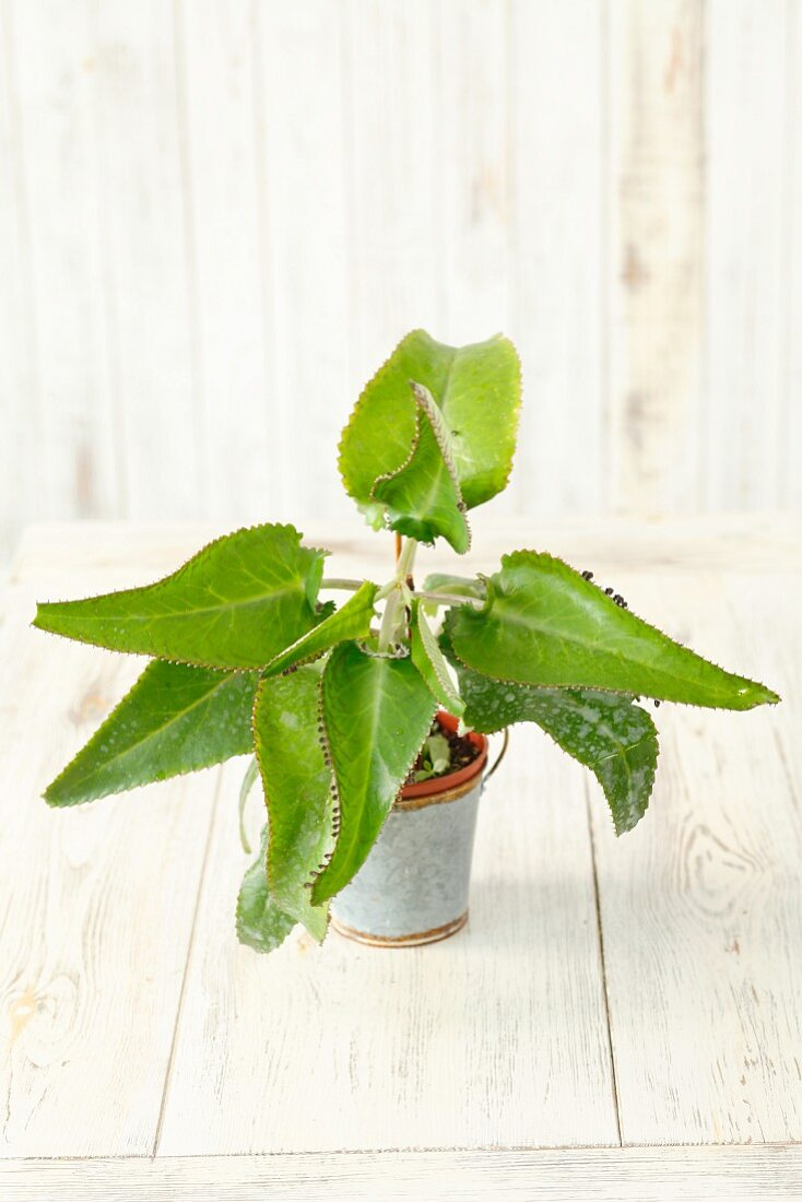 Kalanchoe daigremontiana (succulent house plant)