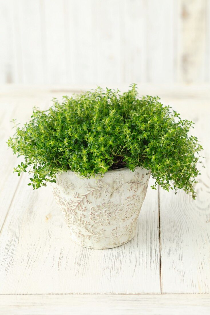 A thyme plant in a flowerpot