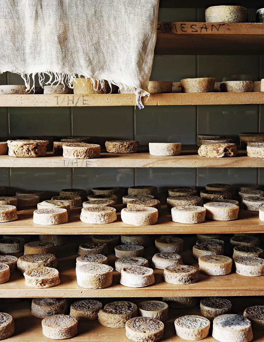 Wheels of cheese on wooden shelves