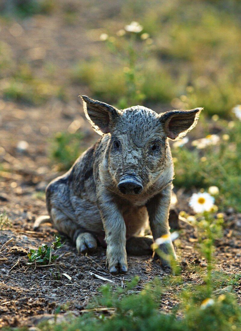 A piglet in a field at an organic farm