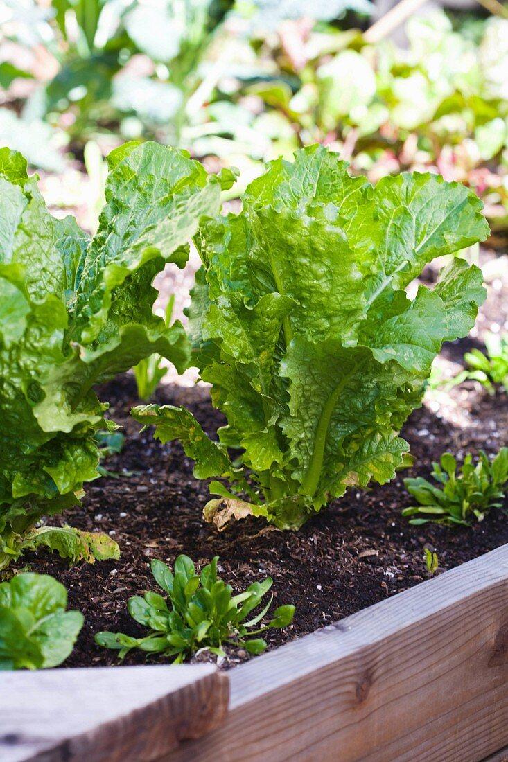 Salad Greens Starts