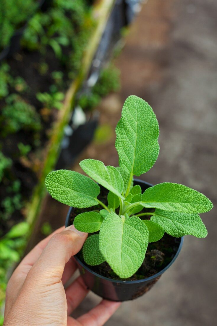 A young sage plant