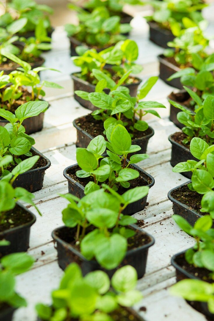 Small peppermint plants