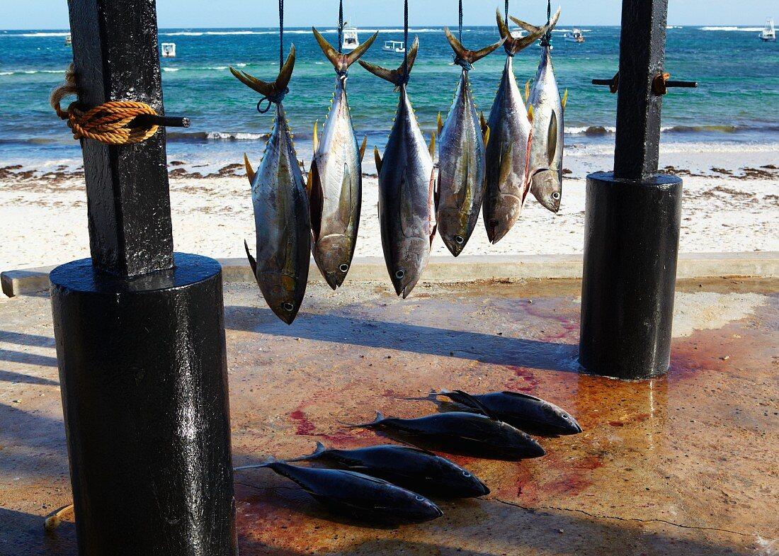 Freshly caught yellowfin tuna hanging up at the beach