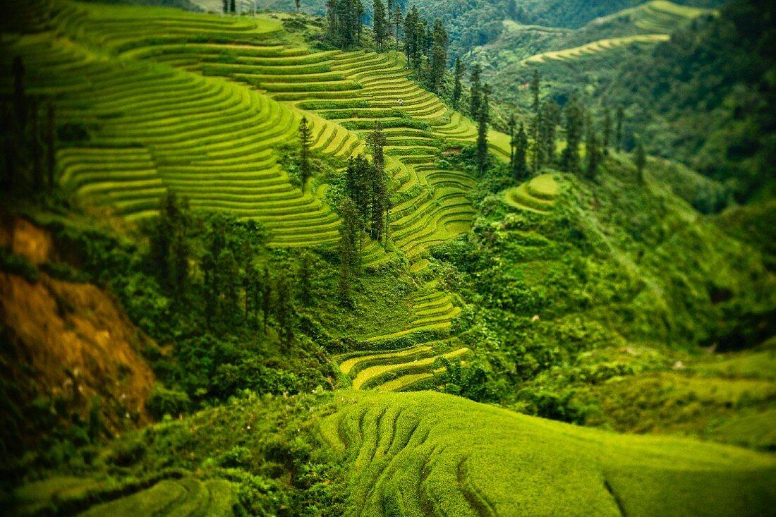 Terraced Fields in Northern Vietnam