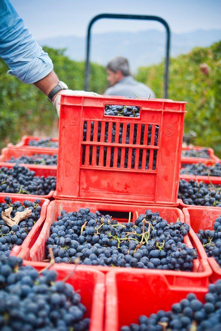 Men Harvesting Grapes