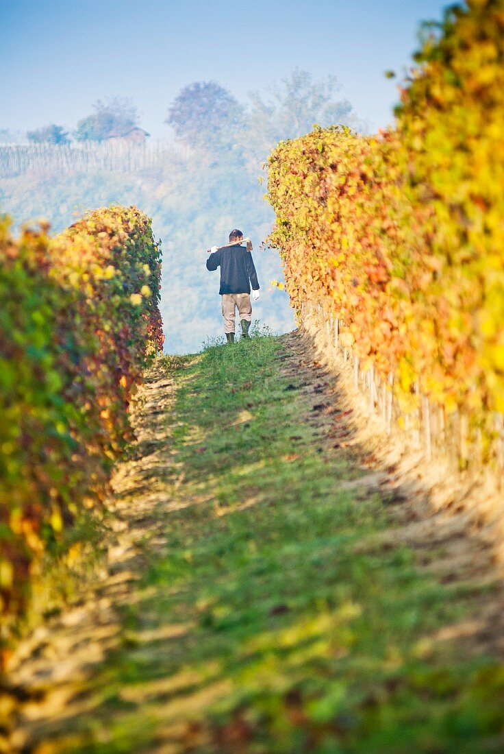 Man Working in Vineyard, Italy