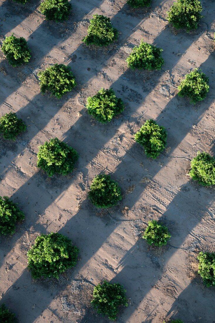 Orange Grove, Detail, High Angle View, Temecula, California, USA