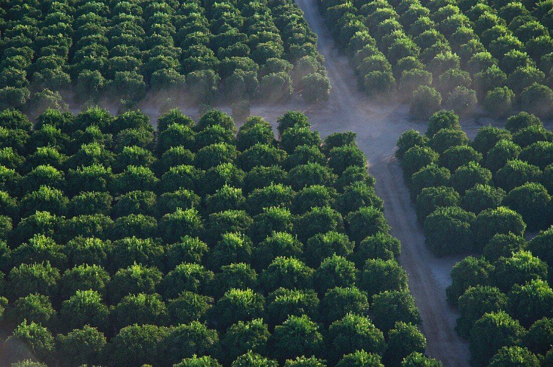 Orange Grove With Mist, High Angle View, Temecula, California, USA