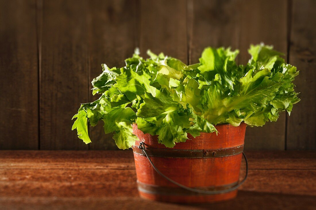 Fresh endive salad in a wooden bucket
