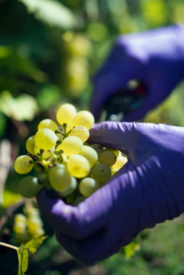 A woman wearing purple plastic gloves cutting a bunch of grapes from a vine