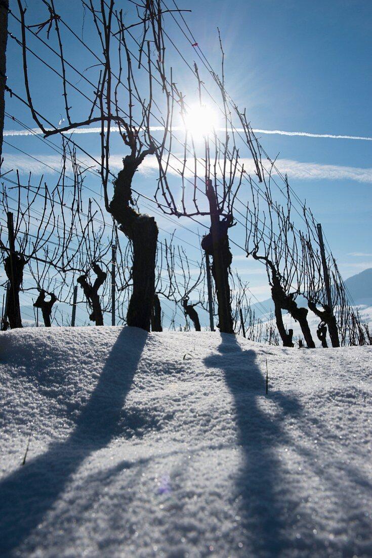 Backlit vines against a blue sky, Aargau