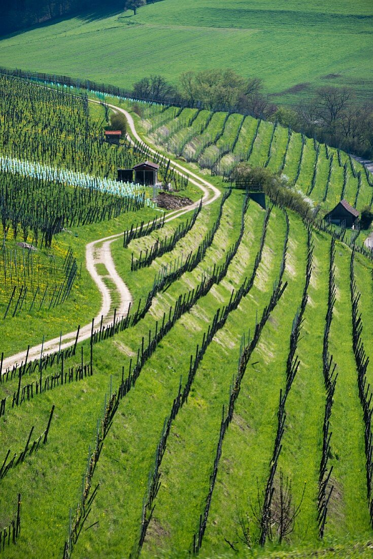 A path winding along a hillside in a vineyard, Aargau