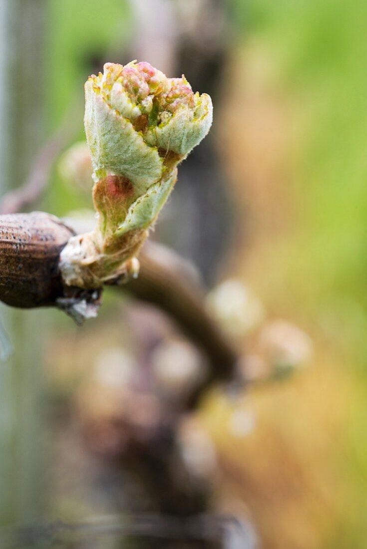 Aus den Augen am Rebstock werden rasch Knospen die sich zu schnellwachsenden Sprossen öffnen, Aargau
