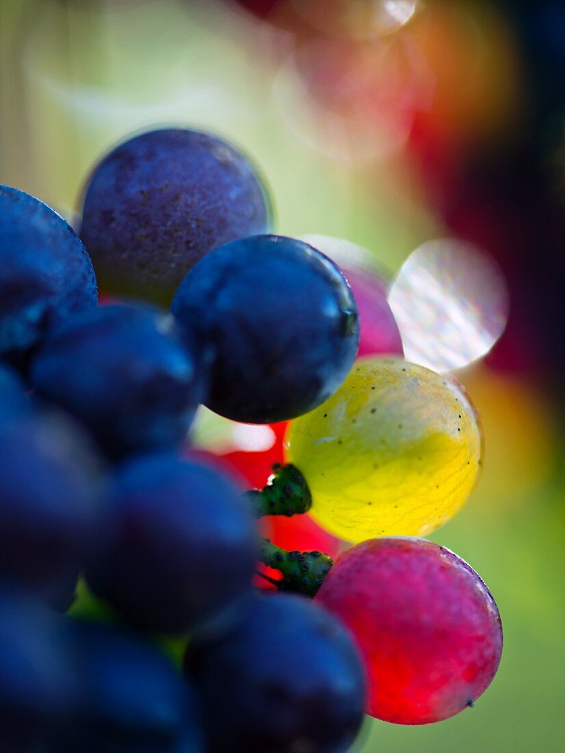 Pinot grigio grapes changing colour, Véraison