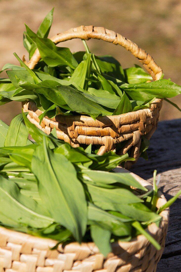 Freshly harvested wild garlic