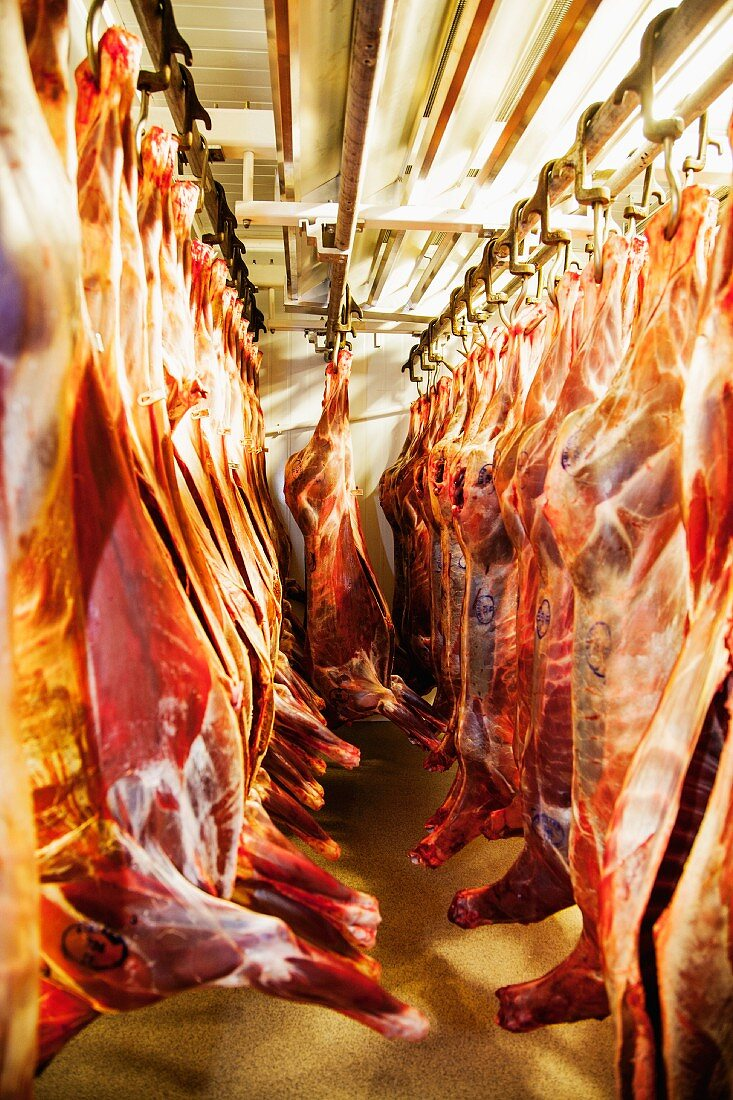 Beef carcasses hanging in a slaughterhouse