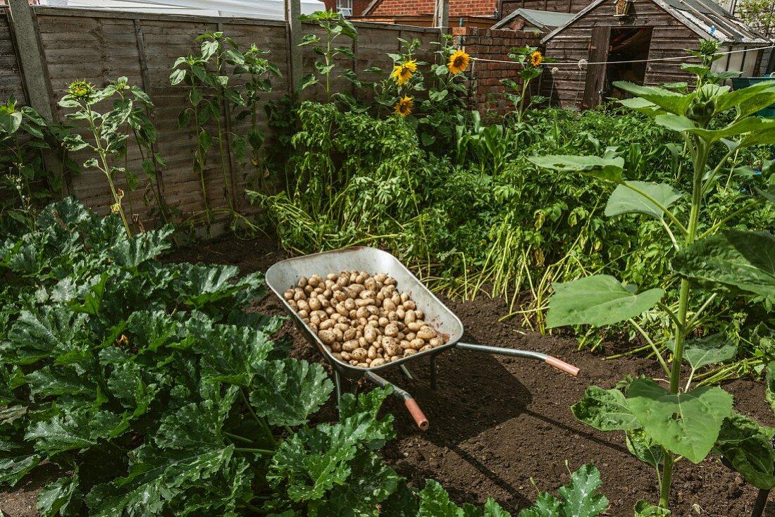 Freshly harvested potatoes in a wheelbarrow