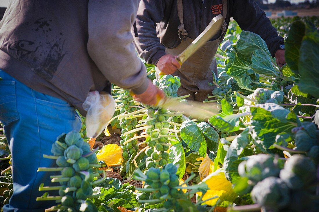 Men cutting Brussels sprouts leaves before they are harvested by machine